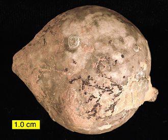 Cystoidea - A Middle Ordovician cystoid Echinosphaerites aurantium (Estonia). It is encrusted by a graptolite (black branches).