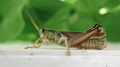 Grasshopper, side full portrait (6064081490).png