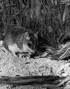 Grasshopper mouse HD.16.jpg
