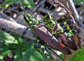 Grasshopper sp. 01 - Flickr - Alex Popovkin, Bahia, Brazil.jpg