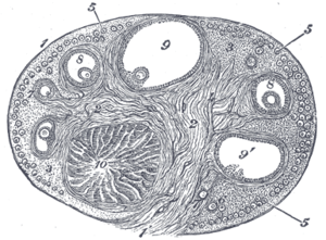 Corpus luteum - Section of the ovary. 1. Outer covering. 1'. Attached border. 2. Central stroma. 3. Peripheral stroma. 4. Bloodvessels. 5. Vesicular follicles in their earliest stage. 6, 7, 8. More advanced follicles. 9. An almost mature follicle. 9'. Follicle from which the ovum has escaped. 10. Corpus luteum.