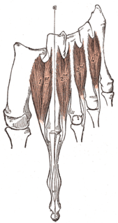 Dorsal interossei of the foot Four muscles situated between the metatarsal bones