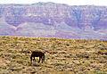 Grazing, Vermilion Cliffs, Navajo Nation, AZ 9-15 (22101609592).jpg