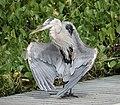 Great Blue Heron (at the pool) (40840448753).jpg