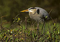 Great Blue Heron - Florida 04 0006 (15411686725).jpg