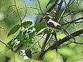 Great Crested Flycatcher (35443666392).jpg