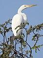 Great Egret Ardea alba Non-br by Dr. Rju Kasambe DSCN5026 (3).jpg