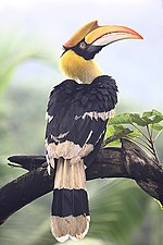 Great Hornbill Goa.jpg