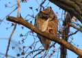Great Horned Owl (465822664).png