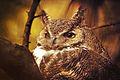 Great Horned Owl (8234420209).jpg