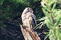 Great Horned Owl Pt Reyes CA 2018-10-02 11-15-51 (31194913958).jpg