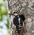 Great Spotted Woodpecker Image 2.jpg