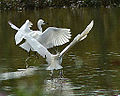 Great White Egrets Fighting (9555891998).jpg