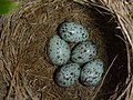 Great reed warbler nest with eggs.jpg