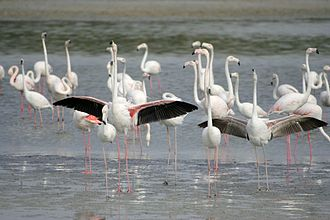 Ras Al Khor - Greater Flamingo