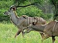 Greater Kudus (Tragelaphus strepsiceros) (6040968813).jpg
