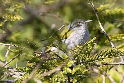 Green-tailed Warbler(Microligea palustris) (8082776636) (2).jpg