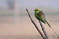 Green Bee Eater - panoramio.jpg