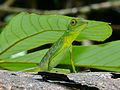 Green Crested Lizard (Bronchocela cristatella) (6730938043).jpg