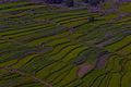 Green Fields of Kashmir.jpg