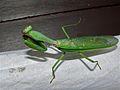 Green Mantis (Mantidae) (7858189908).jpg