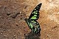 Green lady (Graphium cyrnus).jpg