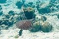 Green turtle Chelonia mydas (2408551264).jpg