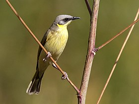 Grey-headed Honeyeater 2506.jpg