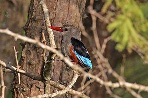 Grey-headed kingfisher - Lake Naivasha, Kenya