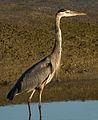 Grey Blue Heron (Ardea herodias).jpg