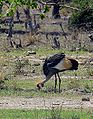 Grey Crowned Crane – Luangwa National Park - Zambia-9.jpg
