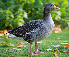 Greylag Goose - St James's Park, London - Nov 2006.jpg