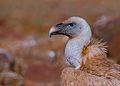Griffon vulture close up.jpg