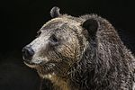 Grizzly Bear (29091934985).jpg