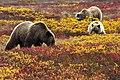 Grizzly Bears in Blueberries (6187113330).jpg