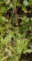 Grossenlueder Kleinlueder Auenverbund Fulda Stachys palustris.png