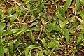 Ground skimmer(Diplacodes trivialis) 5281.jpg