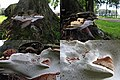 Growth of a new pure white porelayer below the old Ganoderma lipsiense Syn. Ganoderma applanatum (Artist's Bracket or Artist's Conk, D= Flacher Lackporling, F= Polypore aplani, NL= Platte tonderzwam) at Varsseveld - panoramio.jpg