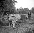 """Grozdje pelje na vozu """"sancu""""v kadi, Trebelno 1951.jpg"""