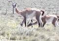 Guanacos en isla Gde. de T.del Fuego (sector de Chile) (6).PNG