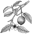 Guava (PSF).png