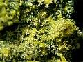 Guilleminite-Vandenbrandeite-Cuprosklodowskite-201032.jpg