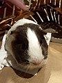 Guinea pig pet 3.jpg