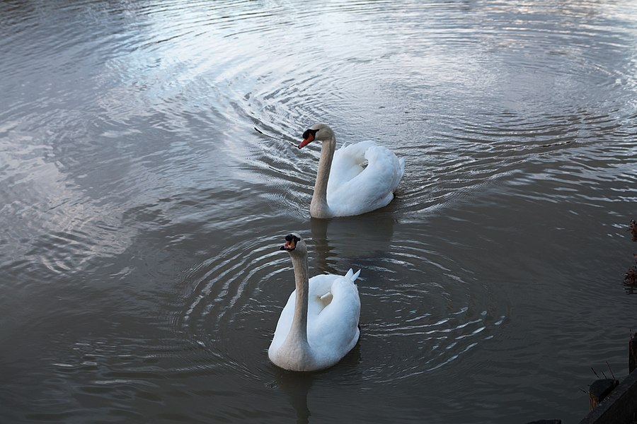 Enjoying the largesse of walkers, a pair of swans stood on the Yonne.