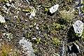 Gymnomitrion concinnatum (a, 141344-472517) 0546.JPG