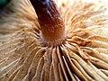 Gymnopilus sapineus 59204163.jpg