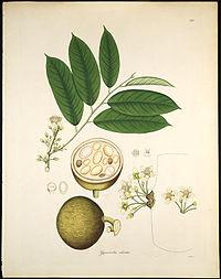 Gynocardia odorata Roxburgh