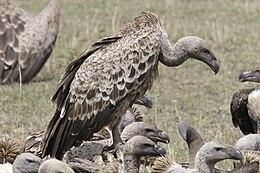 Gyps rueppellii -Masai Mara -Kenya-8
