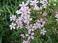 Gypsophila repens (BG Wroclaw)-1.JPG