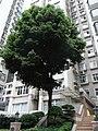 HK Mid-levels 活倫臺 2-3 Woodlands Terrace 福臨閣 tree May-2012.JPG